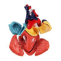 4D Мастер-модель Цветная Сердце Собранная анатомия человека Габаритная модель Научные игрушки