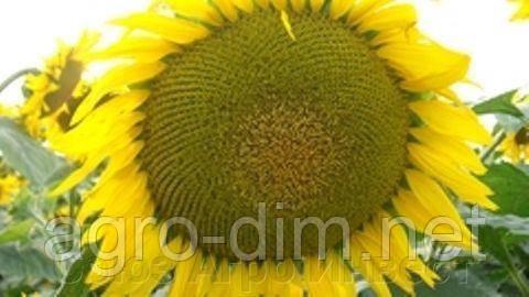 """Семена подсолнечника """"Днестр"""", фото 2"""