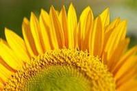 Семена подсолнечника под евролайтинг Лимит, экстра фракция, 110-115 дней
