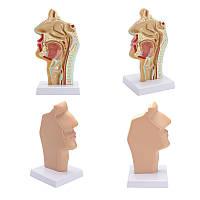 1: 1 Анатомическая анатомическая анатомия полости носа полости Медицинская