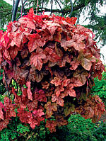 Гейхерелла Редстон Фоллс \  Heucherella Redstone Falls ( саженцы ЗКС) НОВИНКА