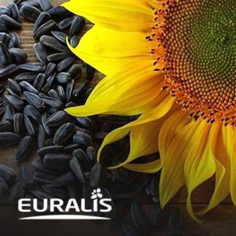 Гибрид подсолнечника ЕС Ніагара(укр) OR7+ Euralis, фото 2
