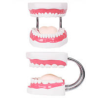 Зубной Модели Обучение детским зубам Чистящие игрушки Зубы Зубной Презентации Структуры