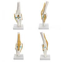 Модель коленного сустава Исследование анатомии скелета человека Дисплей Преподавание Медицинская 1 Комплект