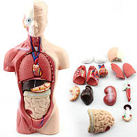 Анатомия тела туловища человека Модель Сердце Скелет мозга Медицинская Школа Образовательные