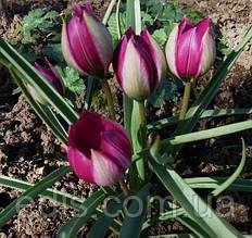 Тюльпан ботанічний Pulchella Persian Pearl (Пулчелла Персіан Перл) 5 шт./уп.