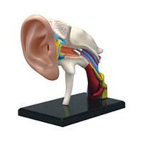 4D Vision Human Уши Анатомическая модель Анатомическая Медицинская Узнать учебное оборудование