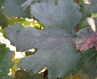 Белый налет на винограде. как побороть оидиум?