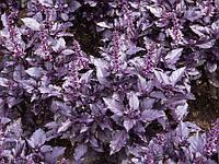 Семена Базилика Карамельный (фиолетовый), (Польша), 0,2кг