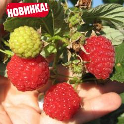 """Саженцы малины ремонтантной """"Сияние""""(НОВИНКА)"""
