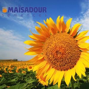 Гибрид подсолнечника Mas 81.C Maisadour