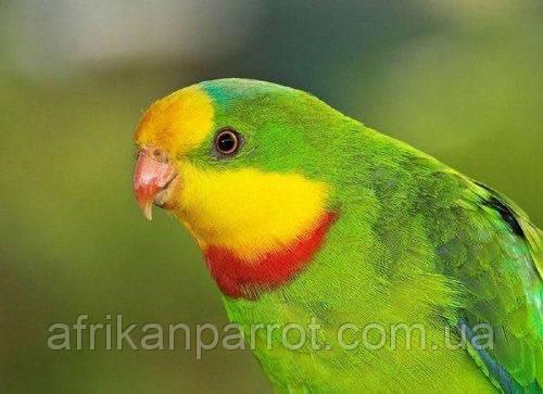 Барабантовый попугай