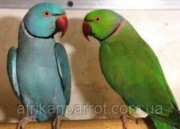 Кольчатый попугай -взрослые самцы