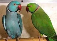 Кольчатый попугай -взрослые самцы, фото 1