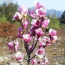 Магнолия Суланжа Сатисфастион\ Magnolia soulangeana 'Satisfaction'( 2х летка ), фото 2