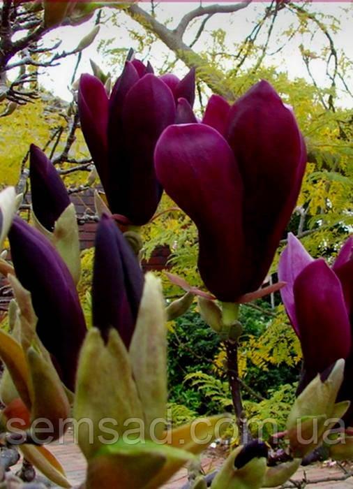 Магнолия Нигра \ Magnolia Liliiflora Nigra ( саженцы 2 года )