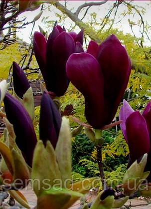 Магнолия Нигра \ Magnolia Liliiflora Nigra ( саженцы 2 года ), фото 2