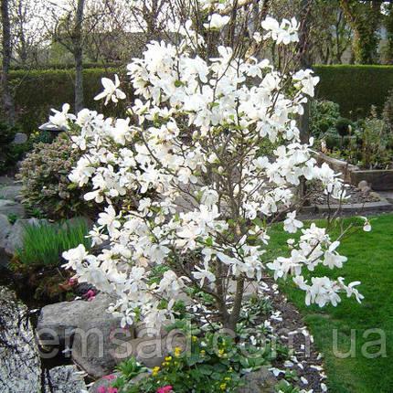 """Магнолия """" Кобус"""" \ Magnolia kobus ( саженцы 1.5г) , фото 2"""