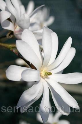 Магнолия звездчатая Рояль Стар \ Magnolia Royal Star ( саженцы 2 года), фото 2