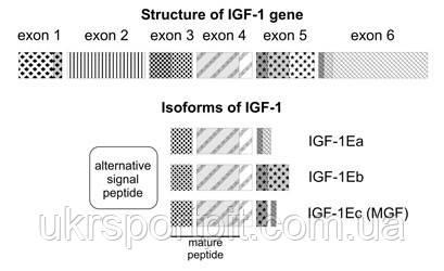 IGF1 LR3 состав