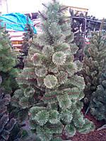 Новогодняя ёлочка Сосна пушистая 210 см.