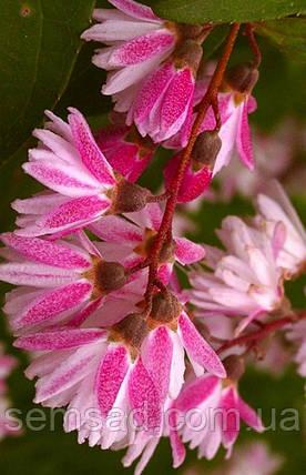 """Дейция гибридная """" Пинк пом пом"""" \ Deutzia hybrida """"Pink Pom-Pom ( саженцы), фото 2"""