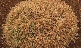 Туя західна Golden tuffet 3 річна, Туя западная Голден Таффет , Thuja occidentalis Golden tuffet, фото 3