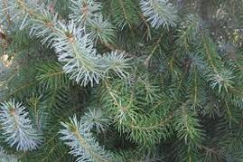 Ялина сербська 2 річна, Ель сербская , Picea omorika, фото 3