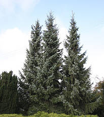 Ялина сербська 2 річна, Ель сербская , Picea omorika, фото 2