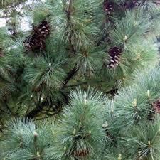 Сосна Румелійська / Балканська 2 річна, Сосна Румелийская / Балканська, Pinus peuce, фото 3