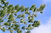 Сосна Румелійська / Балканська 2 річна, Сосна Румелийская / Балканська, Pinus peuce, фото 5