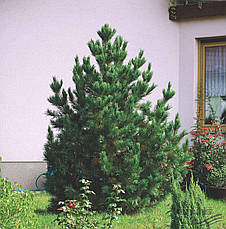 Сосна Румелійська / Балканська 2 річна, Сосна Румелийская / Балканська, Pinus peuce, фото 2
