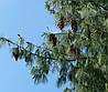 Сосна Румелійська / Балканська 2 річна, Сосна Румелийская / Балканська, Pinus peuce, фото 6