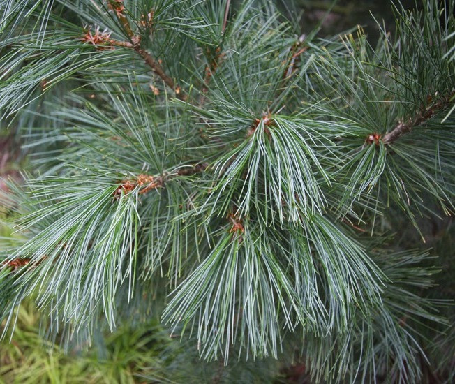 Сосна Румелійська / Балканська 2 річна, Сосна Румелийская / Балканська, Pinus peuce