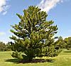 Сосна Румелійська / Балканська 2 річна, Сосна Румелийская / Балканська, Pinus peuce, фото 4