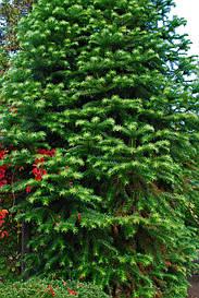 Кунінгамія ланцетна 1 річна, Куннингамия ланцетовидная, Сunninghamia lanceolata