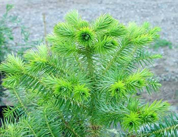 Кунінгамія ланцетна 2 річна, Куннингамия ланцетовидная, Сunninghamia lanceolata