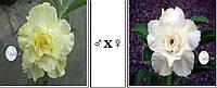 Адениум семена Ко_41*Ко_15