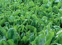 Семена шпината Лагос CLAUSE