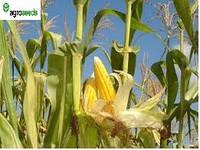 Диадема кукуруза, гибрид французской селекции, Euralis