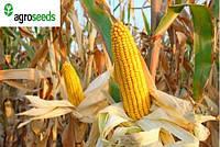 Анамур кукуруза, гибрид французской селекции