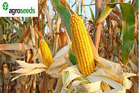 Тактик кукуруза, гибрид французской селекции от производителя