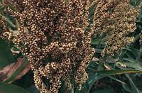 Семена зернового сорго Аггил, Aggyl, 120 суток