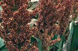 Семена зернового сорго Ангги, Anggy, 125 суток