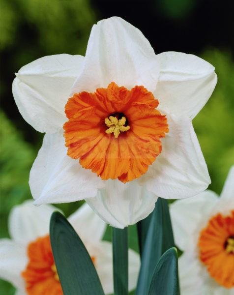 Луковичное растение Нарцисс корончатый Professor Einshtein