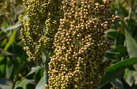 Семена зернового сорго Ютами, Yutami, 100-105 cуток