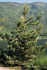 Сосна Покручена 2 річна, Сосна Скрученная, Pinus contorta, фото 3