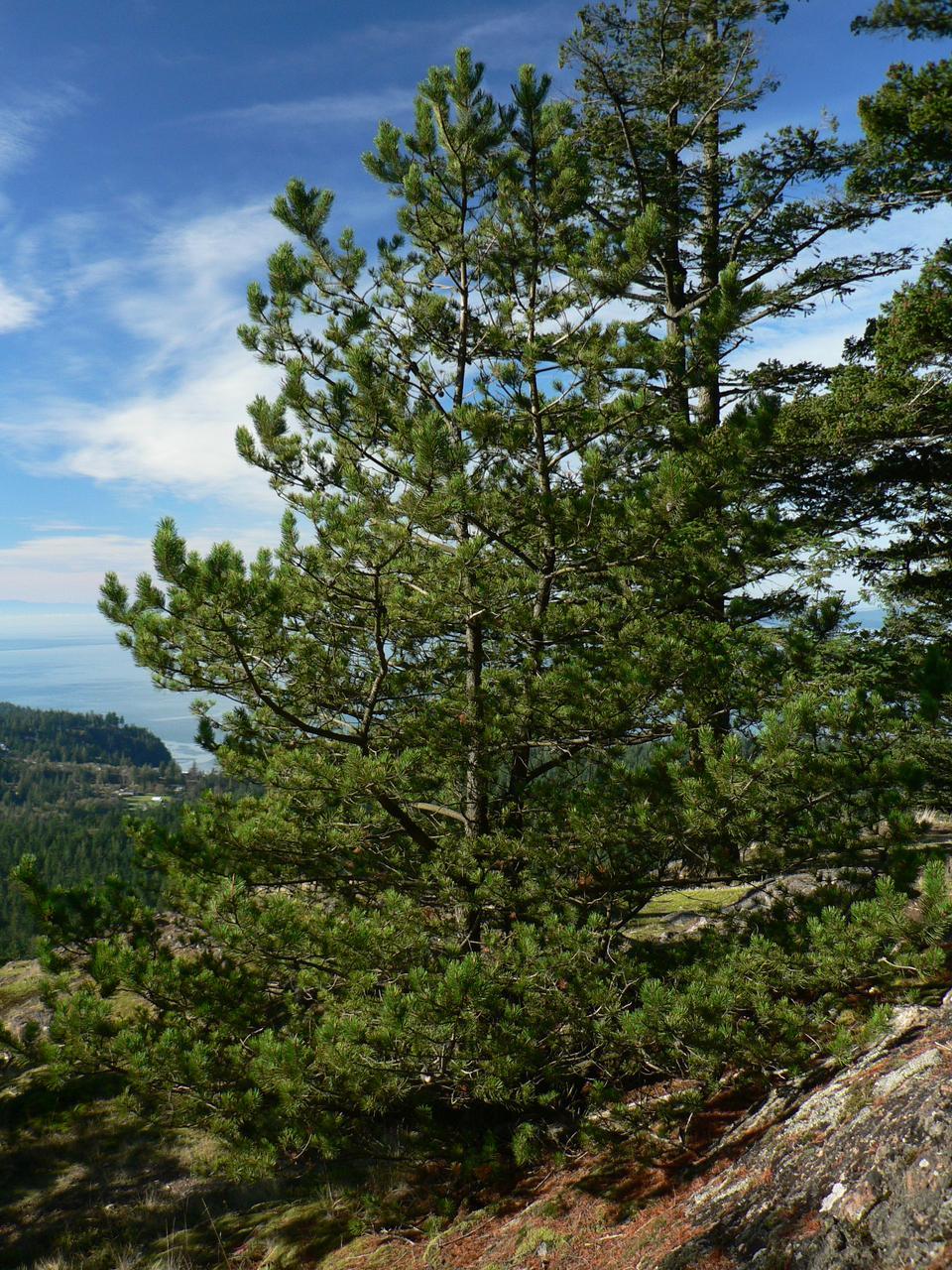 Сосна Покручена 2 річна, Сосна Скрученная, Pinus contorta