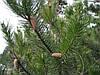 Сосна Покручена 2 річна, Сосна Скрученная, Pinus contorta, фото 2
