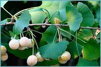 Семена Гинкго Билоба. Seeds Ginkgo Biloba.